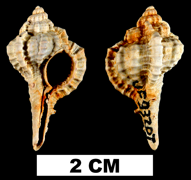 <i>Vokesimurex rubidus</i> from the Late Pliocene Tamiami Fm. (Pinecrest Beds) of Charlotte County, Florida (UF 93207).