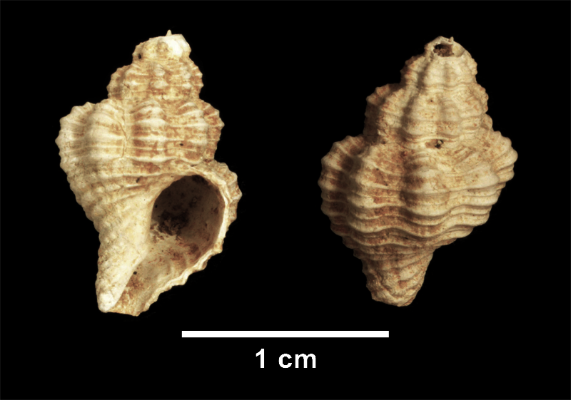 <i>Vokesinotus lepidotus</i> from the Late Pliocene Yorktown Fm. of Isle of Wight County, Virginia (SDSM 112559).