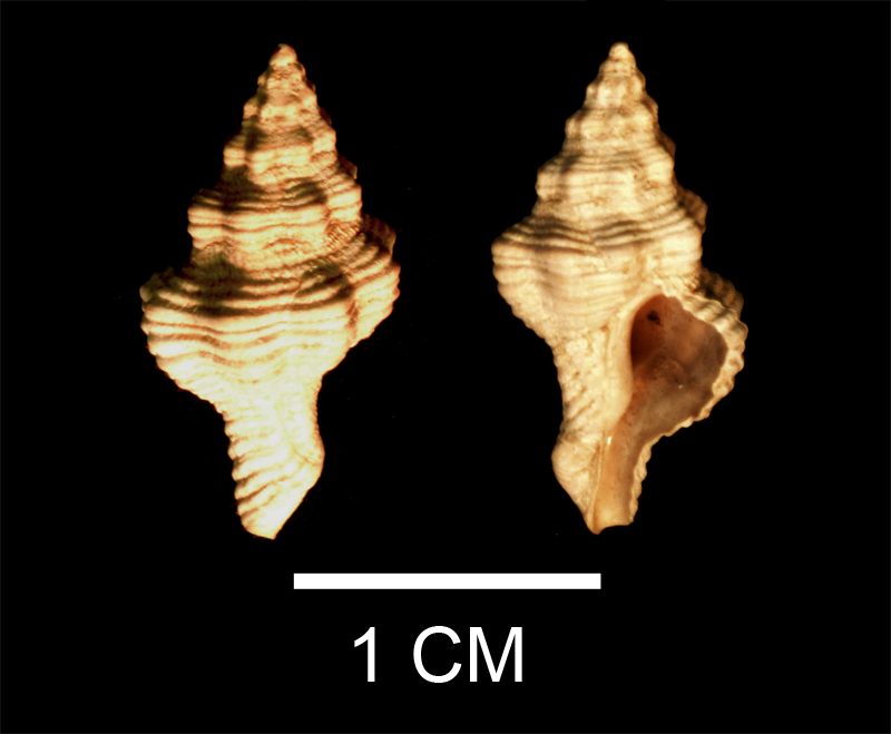 <i>Vokesinotus perrugatus</i> from the Late Pliocene Tamiami Fm. (Pinecrest Beds) of Sarasota County, Florida (SDSM 138366).
