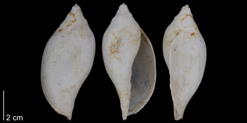 <i>Volutifusus typus</i> from the lower Pleistocene James City Formation of Beaufort County, North Carolina (PRI 70473).