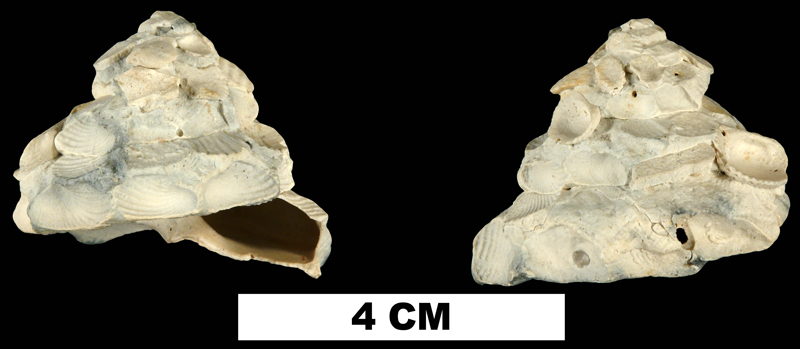 <i>Xenophora floridana</i> from the Late Pliocene Tamiami Fm. (Pinecrest Beds) of Highlands County, Florida (UF 135581).