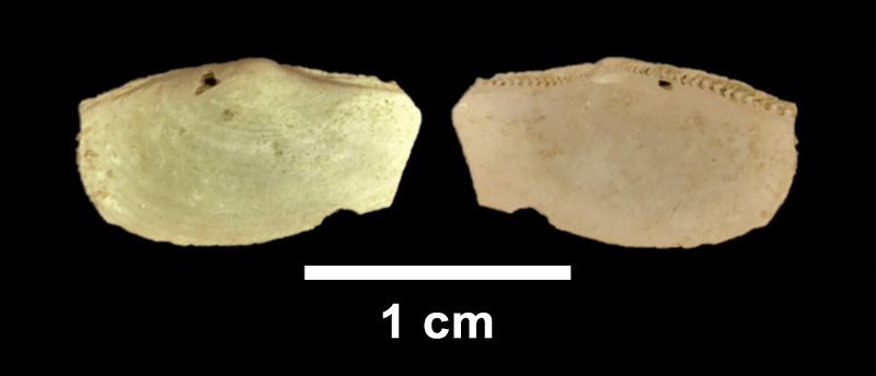 <i>Yoldia laevis</i> from the Late Pliocene Yorktown Fm. of Isle of Wight County, Virginia (SDSM 112573).