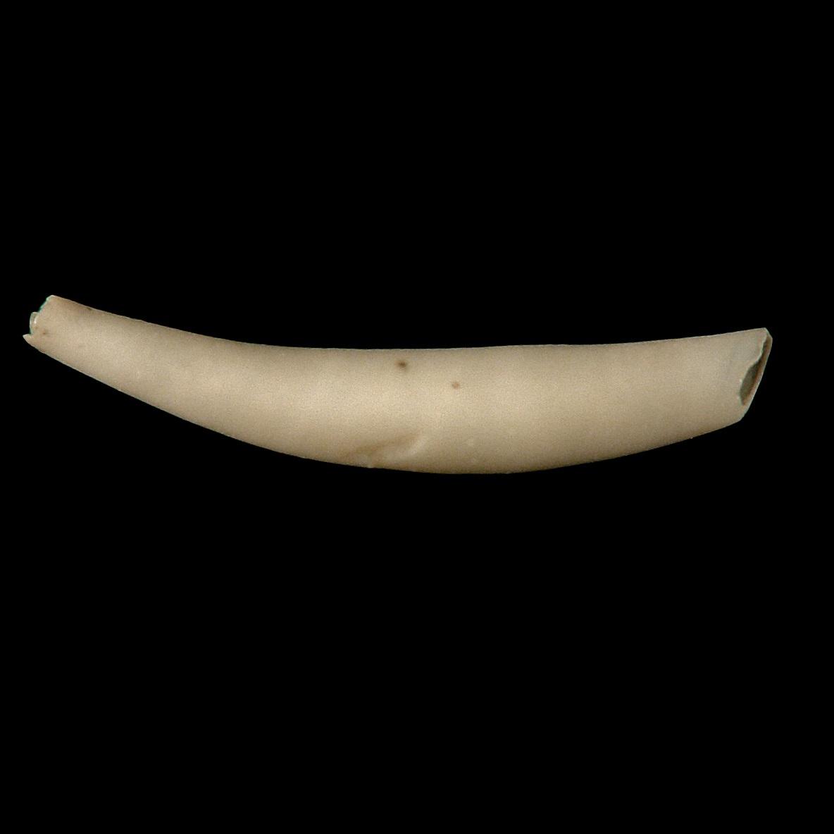 Cadulus